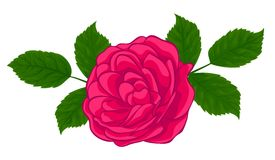 Stylish red rose. Isolated on white Royalty Free Stock Photos