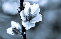 Stylistic almond blossoms black and white stock photography