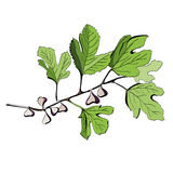 Stylized colored drawing of a branch of fig tree. With fruits and leaves Royalty Free Stock Images