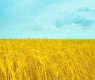 Stylized flag of Ukraine, with wheat field and sky Royalty Free Stock Photo