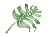 Stylized huge sheet of Monstera deliciosa. Watercolor, stylized huge sheet of Monstera deliciosa royalty free illustration