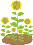 Stylized illustration of five sunflowers. An illustration of five stylized sunflowers with yellow petals and green leaves Royalty Free Stock Images