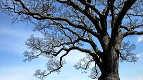 Stylized Oak Tree Royalty Free Stock Photo