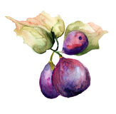 Stylized watercolor Figs illustration Stock Images