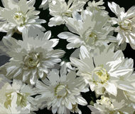 Stylized white chrysanthemums on dark background Royalty Free Stock Images