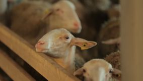 Stylo de moutons banque de vidéos