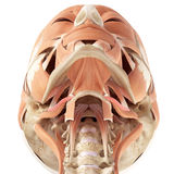 The stylohyoid Stock Images