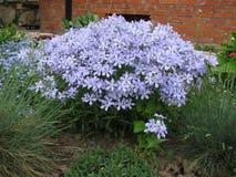 Styloid цветя флокс (subulata флокса) Стоковое Изображение