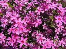 Styloid flowering phlox (Phlox subulata) Royalty Free Stock Photo