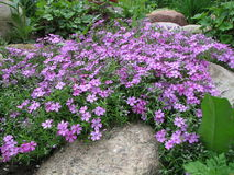 Styloid flowering phlox (Phlox subulata) Royalty Free Stock Image