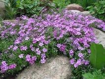 Styloid kwiatonośny floks (floksa subulata) obraz royalty free