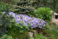 Styloid Phlox in rock gardens. Among the firs Royalty Free Stock Image