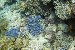 Stylophora pistillata coral Royalty Free Stock Images