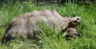stymulowanie afrykańskiego żółwia Obraz Royalty Free