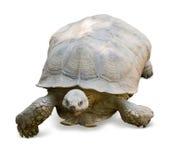 stymulowanie afrykańskiego żółwia Zdjęcie Royalty Free