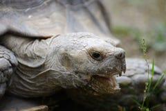 stymulowanie afrykańskiego żółwia zdjęcia royalty free