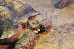 stymulowanie afrykańskiego żółwia Obrazy Royalty Free