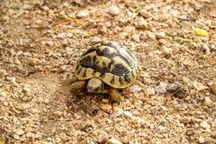 stymulowanie afrykańskiego żółwia Obrazy Stock