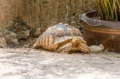 stymulowanie afrykańskiego żółwia Zdjęcia Stock