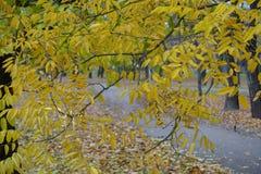 Styphnolobium japonicum秋季叶子在11月 图库摄影