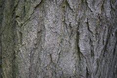 Styphnolobium japonicum bark. Close up Stock Photos