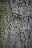 Styphnolobium japonicum bark. Close up Royalty Free Stock Photo