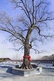 Styphnolobium japonicum synonym Sophora japonica, Japanese Pagoda tree at Chinese Buddhist Temple. Styphnolobium japonicum synonym Sophora japonica, Japanese Stock Images