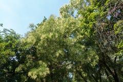 Styphnolobium japonicum tree in bloom. Styphnolobium japonicum tree in full bloom Royalty Free Stock Photos