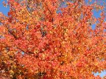 Styraciflua de Liquidambar, généralement appelé le sweetgum d'American, dans l'automne avec son rouge, orange et feuilles de jaun Photos libres de droits