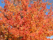Styraciflua del liquidámbar, comúnmente llamado sweetgum american, en temporada de otoño con su rojo, naranja y hojas del amarill fotos de archivo libres de regalías
