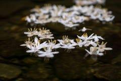 Styrax japonicus Στοκ Εικόνες