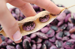 Styrian scarlet runner beans Royalty Free Stock Photo