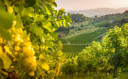 Styrian summer landscape. Styrian Tuscany Vineyard at summer sunset, Austria Royalty Free Stock Image