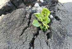 Styrkan av asfaltplantagrodden Arkivfoton
