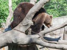 Suécia de Éstocolmo do parque de Skansen do urso Imagem de Stock Royalty Free