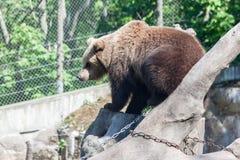 Suécia de Éstocolmo do parque de Skansen do urso Foto de Stock