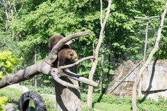 Suécia de Éstocolmo do parque de Skansen do urso Fotos de Stock