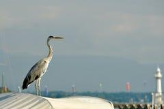 Suíça Genebra, garça-real de A monitora barcos de pesca fotografia de stock royalty free
