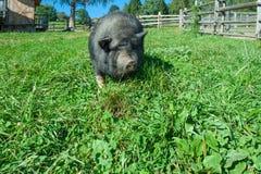 Suínos pretos do porco na grama Imagens de Stock Royalty Free