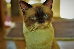 Su nombre es y x22; Cosmo& x22; el gato masculino de los ojos azules imagen de archivo