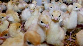 Su un'azienda avicola per i tacchini crescere archivi video