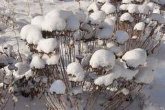 Su un cespuglio asciutto i cappucci della neve Immagine Stock