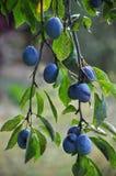 Su un ramo di un albero della prugna Fotografie Stock