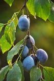Su un ramo di un albero della prugna Fotografie Stock Libere da Diritti