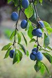 Su un ramo di un albero della prugna Immagine Stock