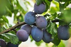 Su un ramo di un albero della prugna Fotografia Stock Libera da Diritti
