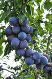 Su un ramo di un albero della prugna Fotografia Stock