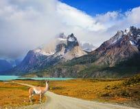 Su una strada non asfaltata vale il guanaco - lama Immagine Stock Libera da Diritti