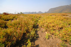 Suaeda maritima field. Royalty Free Stock Photo