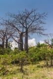 Suarez Baobab Royalty Free Stock Images
